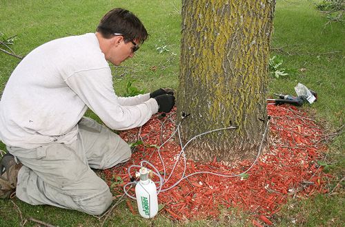 Emerald ash borers are a nuisance, but there are ways to protect your ash trees