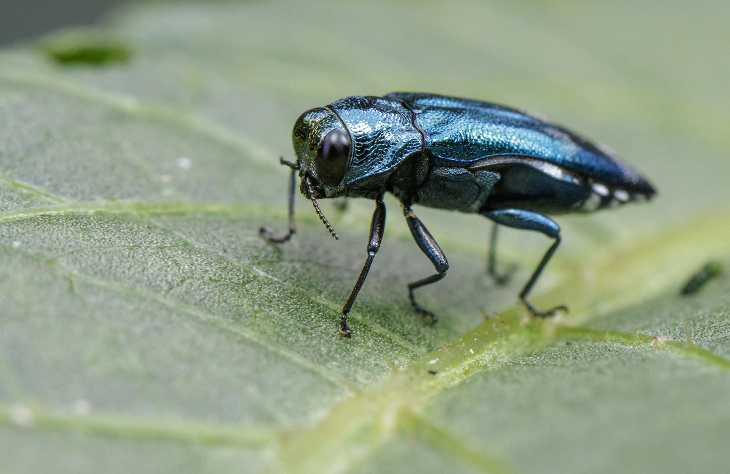 An emerald ash borer resting on a green leaf.